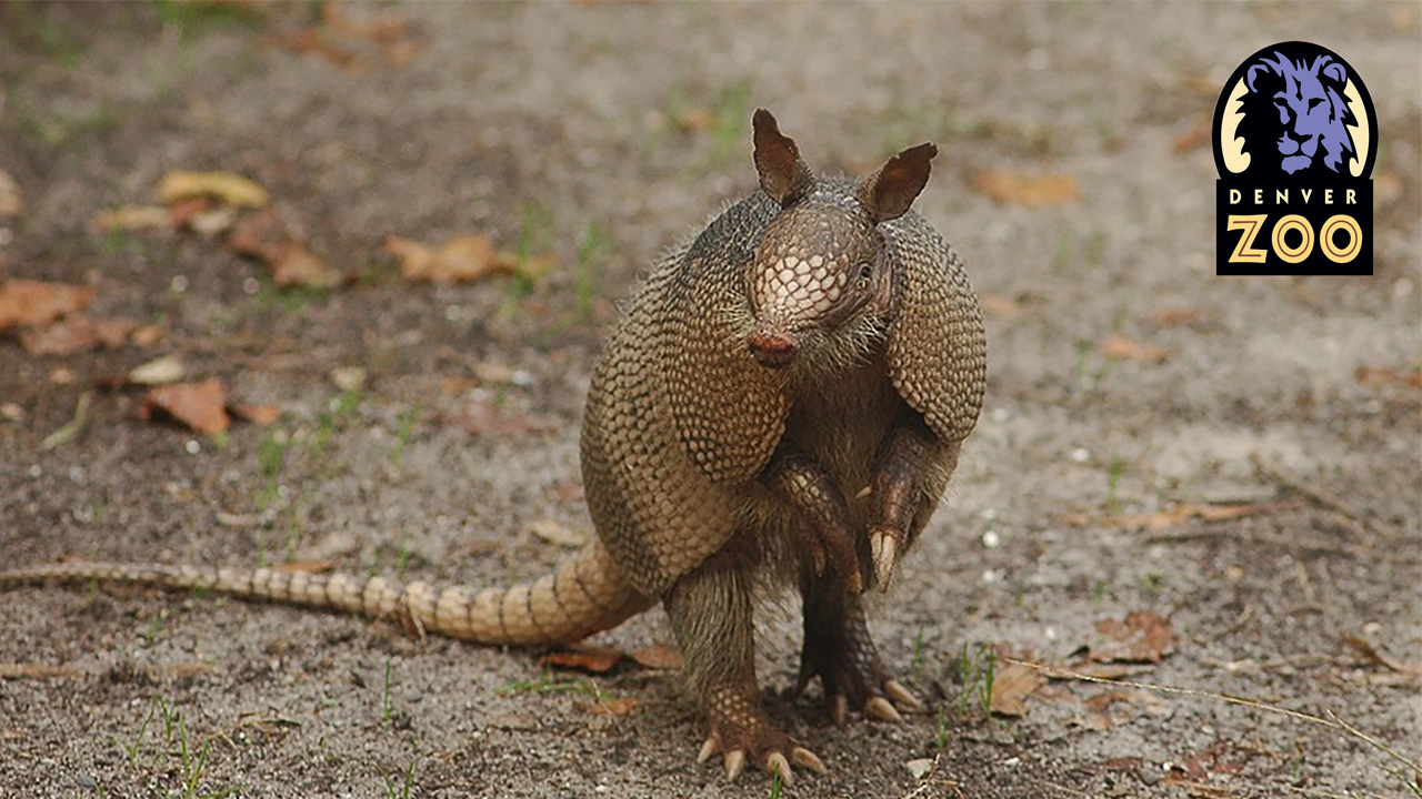 armadillo standing on hind legs, looking at the camera. it's standing on a dirt path with the denver zookeeper's logo in the upper right hand corner. This is a limited mobility excursion